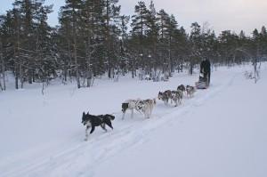 mushing trineo tirado por perros